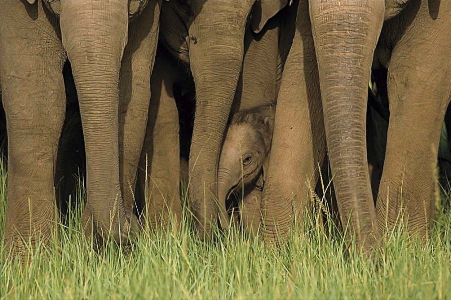 Elephants and young