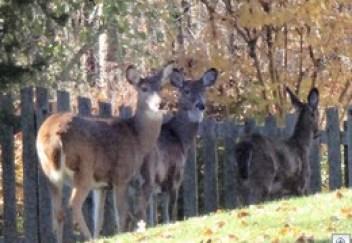 Deer 1113f