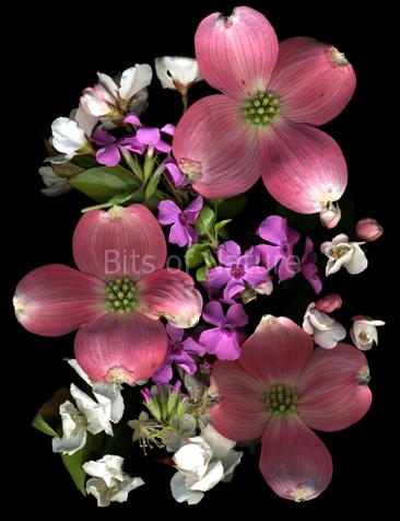 Dogwood Delight