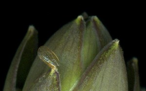 Microscopic aphid wing stuck to hosta flower