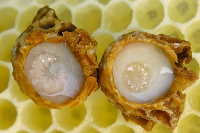 Royal jelly Lebah