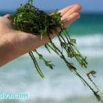 8 Manfaat Rumput Laut untuk Kecantikan Kulit & Rambut