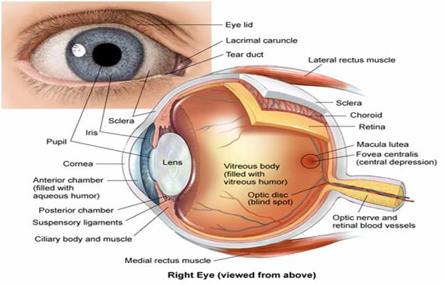 structure of human eye with diagram venn transverse and longitudinal waves wiring online introduction biyani group colleges labeled
