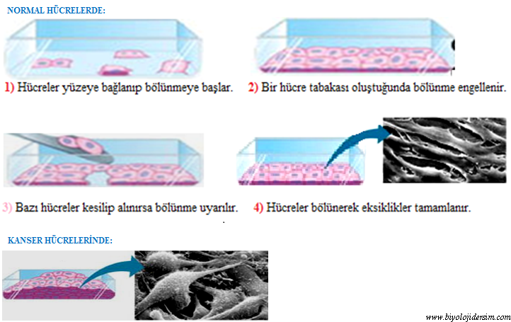 kanser hucrelerinde bolunme