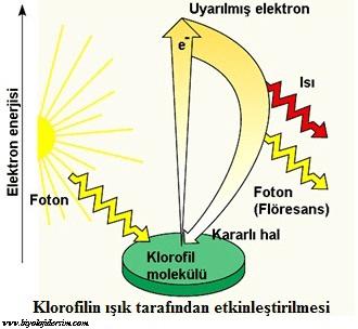 klorofilin etkinleştirilmesi