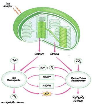 fotosentez teğkimeleri