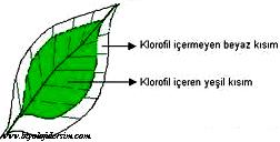 fotosentez için klorofil gereklidir