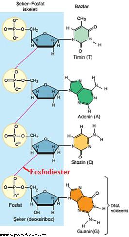 nukleoprotein yapısı