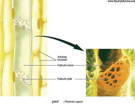 floemin yapısı