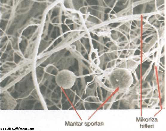 mikorizalar