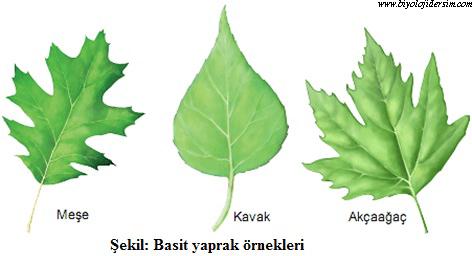 basit yaprak