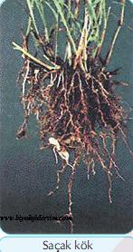 saçak kök
