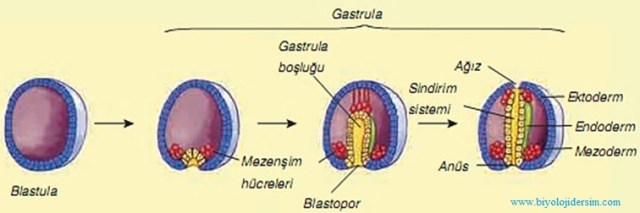 embriyonik tabakaların gelişmesi