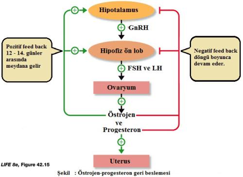 östrojen-progesteron feedback