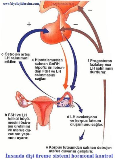 dişi üreme sistemin kontrol eden hormonlar