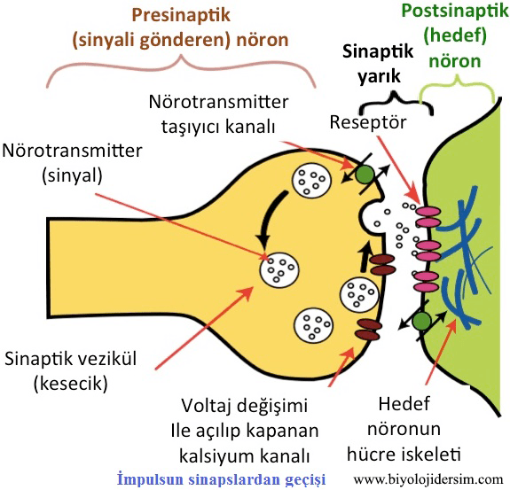 sinapstan impuls geçişi