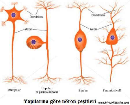 yapısına göre nöron çeşitleri