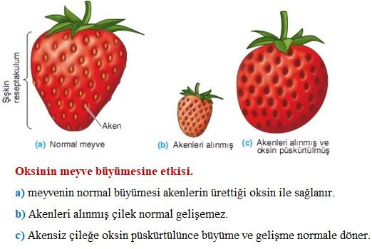 oksnin meyveye etkisi