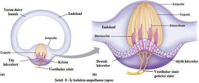 ampulla iç kulakta bulunur