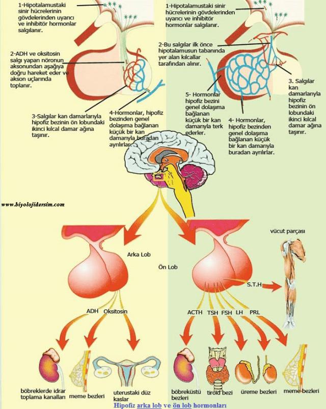 hipofiz hormonları