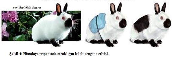 himalaya tavşanında kürk