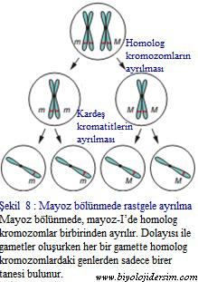 mayozda kromozomlar rastgele ayrılırlar