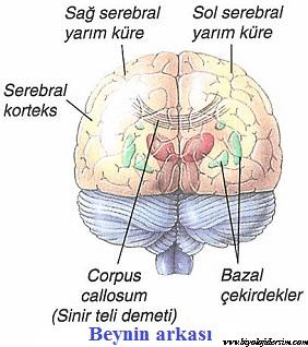 beynin arkadan görünümü