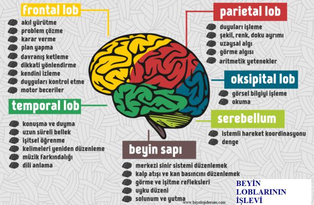 beyin loblarının işlevi