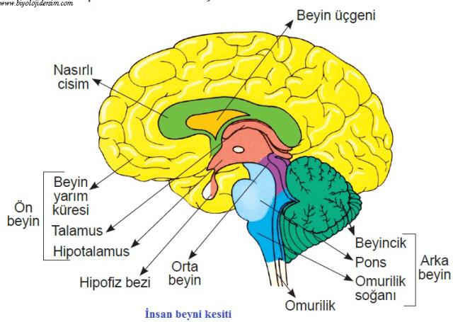 beynin kesiti