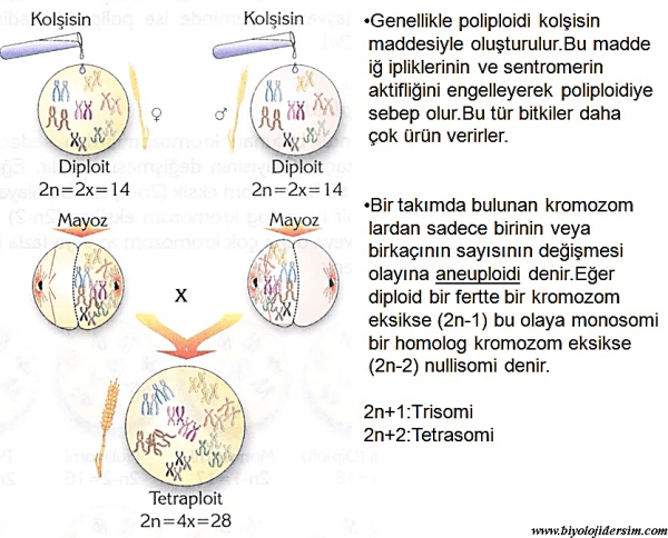 kromozom sayısı değimeleri
