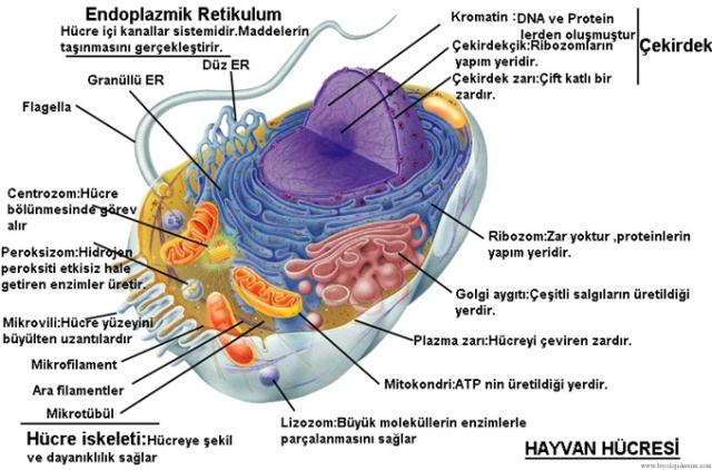 hayvan hücresi modeli