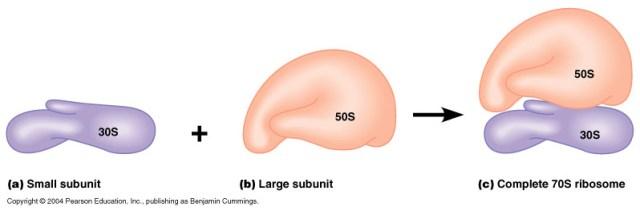 ribozom