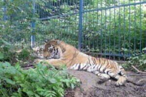 ZooBrasov_tigru