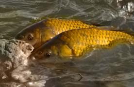 STUDIU: Crapul, cel mai consumat pește românesc. Păstrăvul are cel mai bun potențial la export