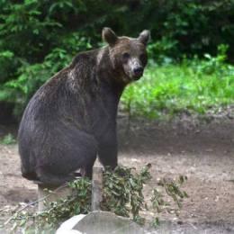 Ursul care alunga turiștii de la Cetatea Râșnov a fost relocat