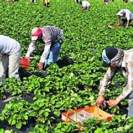 O firmă spaniolă caută 900 de căpșunari la Brașov. Se plătesc 40 de euro/zi