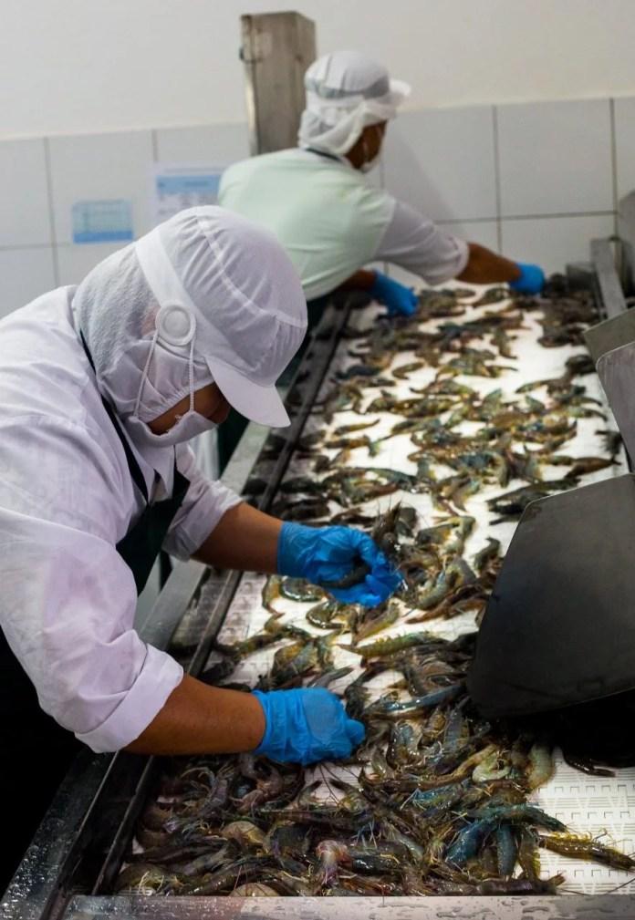 Staff at GC in Serambangun sifting through shrimps