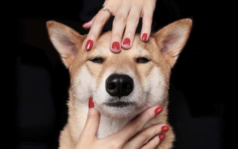 Bodhi-tastic! This Chic Shiba Awe the Fashion Industry
