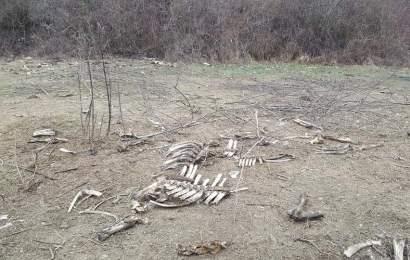 Imagini îngrozitoare pe malul Jiului. Mii de oase împrăștiate pe câmp, în Turcinești