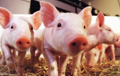 Pesta porcină nu a dispărut din Gorj!