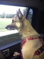 """Robby,"" a Belgian Malinois"