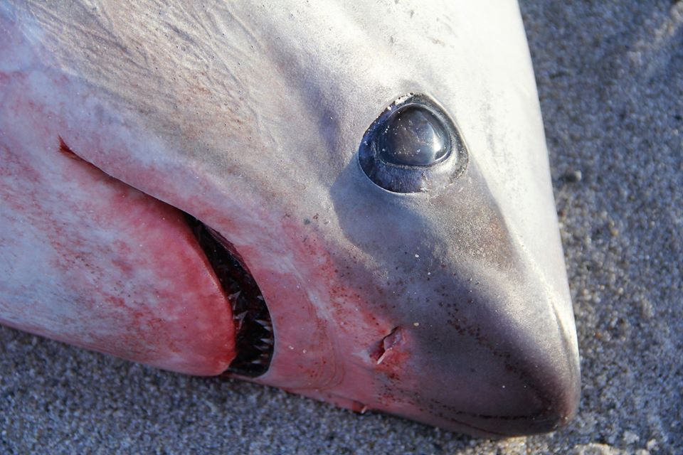 Frigid Weather in Northeastern US Causing Shark Deaths