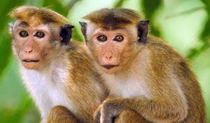 kok-hucre-yontemiyle-maymun-kalbi-iyilestirildi-bizsiziz