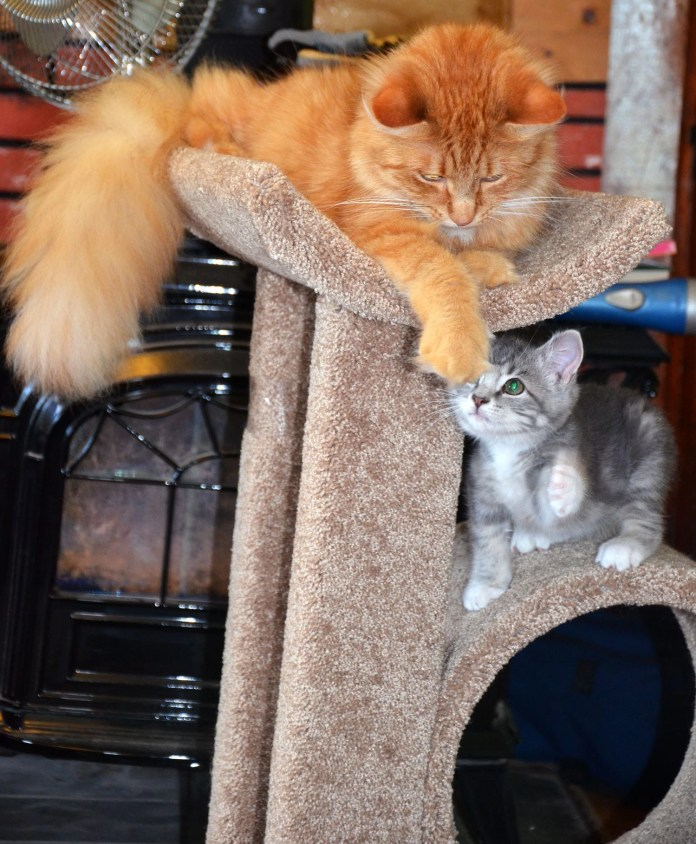 Little Yellow and Baby Kitty Lenny play on the new cat tower