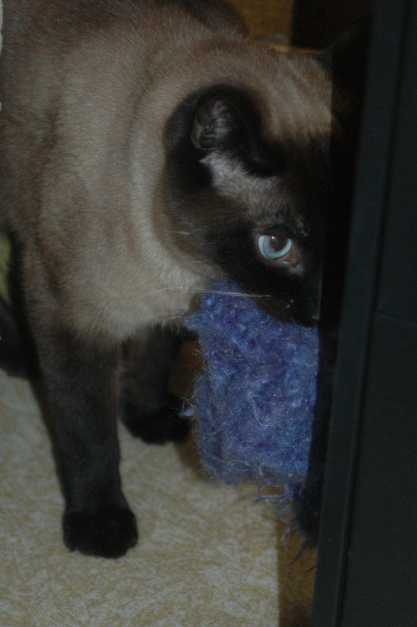 Siamese Cat Rescue The Right Match For Person Cat Paws For Reflection