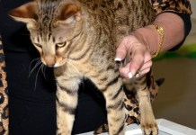 Savannah Cat participates in TICA cat show