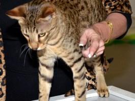 Savannah Cat participates in TICA cat show