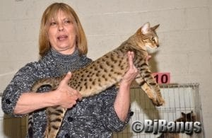Savannah Cat participates in the NauTICAts show in Augusta, ME in March.