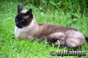 Siamese Linus enjoys supervised time in the backyard.