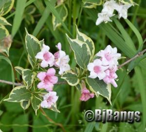 Lovely weigelias in bloom